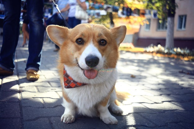 Corgis are known for always appearing happy and smiling (and TBH a little naive).