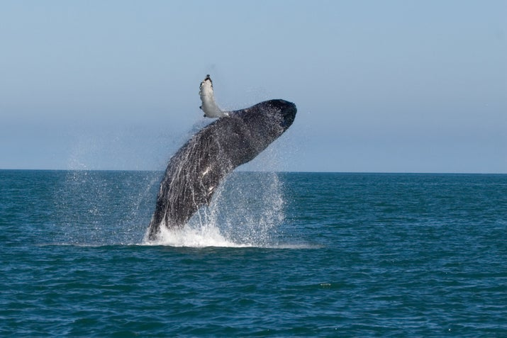 Esta ballena es haciendo estallar fuera cerca de la ciudad de Husavik en Islandia.  Ellos son majestuosas como mierda.  Aquí hay algunas empresas que lo pueden llevar.