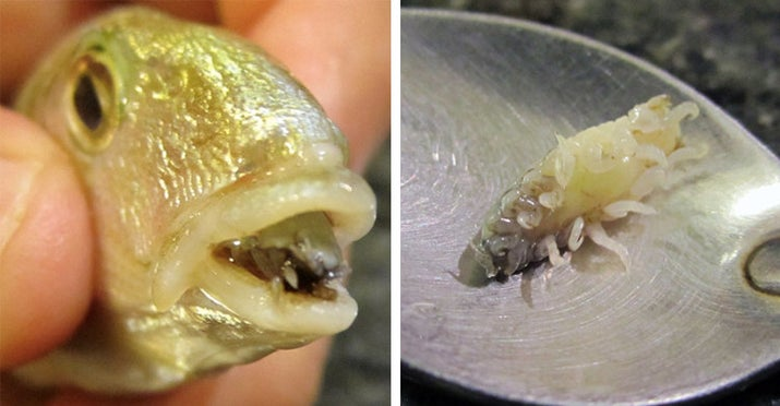 Essentially it transforms itself into a living, parasitic, but fully functioning and otherwise harmless tongue. It's called cymothoa exigua.—abozyk5