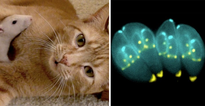 It's called Toxoplasma gondii, and it changes a rat's brain function to make them drawn to the smell of cat urine, making it easier for cats to find and catch the rat — literally leading the rat to its death.—gracecrxmb