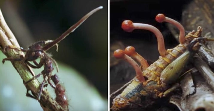 It's called desmidiospora myrmecophila, a furry, parasitic fungus that causes infected insects to behave strangely.—msg0311