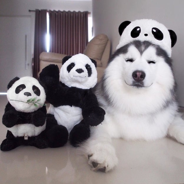 But he also enjoys spending time with his favorite pandas.