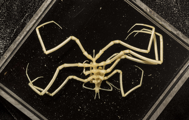 The team encountered a whole lot of freaky looking creatures, like this sea spider...