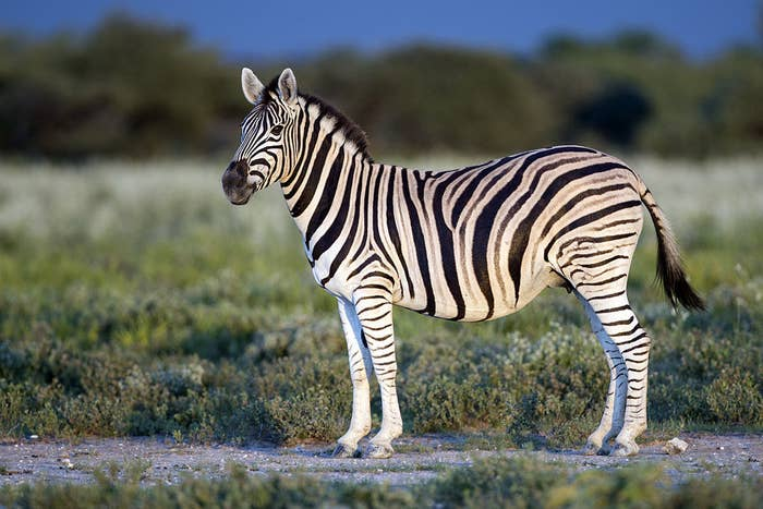 The Sound A Zebra Makes Is Slightly Off-Putting If You've