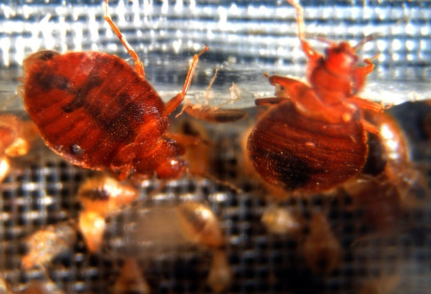 Bed bugs are HELL SPAWN THAT MAKE NORMALLY TOUGH NEW YORKERS PEE THEIR PANTS.