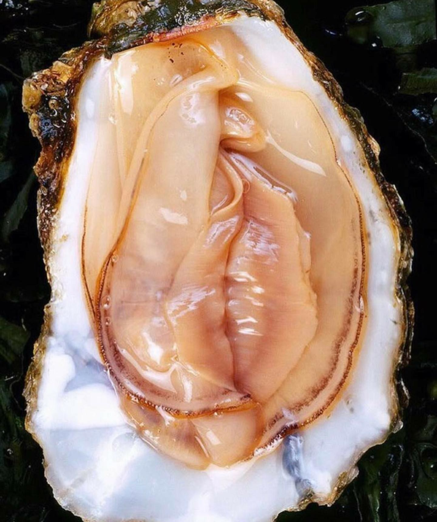 An oyster on a shell with thin layers of muscle