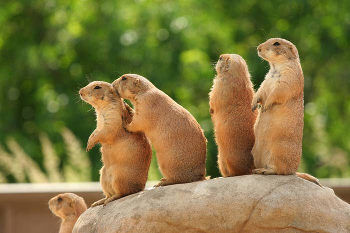 Prairie dogs on rock, one whispering in another's ear as if gossiping