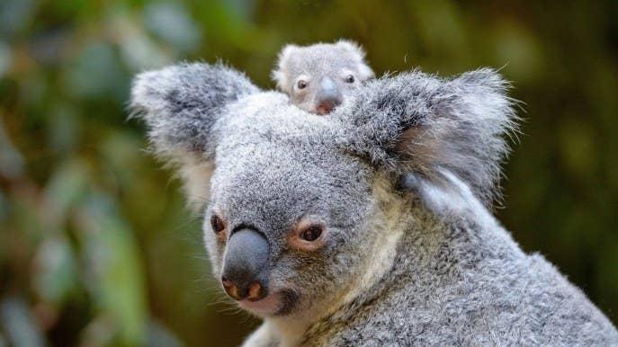 Image result for baby koala
