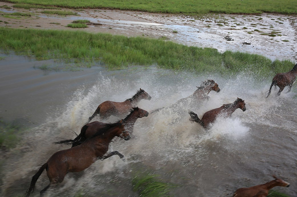 """""""This is one of my many photos of brumbies roaming the land in the peak of the wet season. They often run through waterways and get eaten by crocs. Many of my pictures of wild brumbies have accidentally captured a croc lurking next to them in the waters."""""""