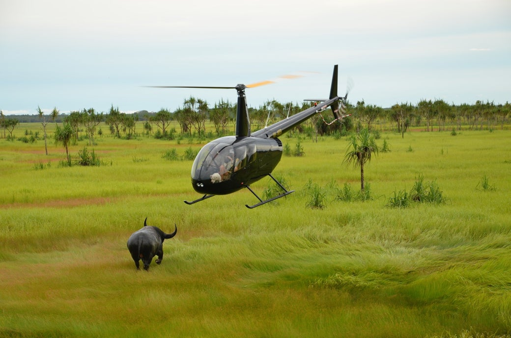 A helicopter getting really close to a buffalo.