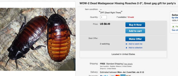 """""""2 to 3 inch DEAD Madagascar Hissing Cockroaches. Thees once were alive in my colony, and they were old breeders that had a good life before expiring. Friends have used these """"Hissers"""" for an excellent gag gift. With a Origanal Hisser you can be the Life of the Party."""""""