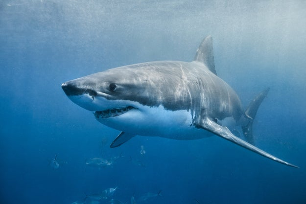 And this is a great white shark. Sharks, as a species, have won zero Olympic medals.