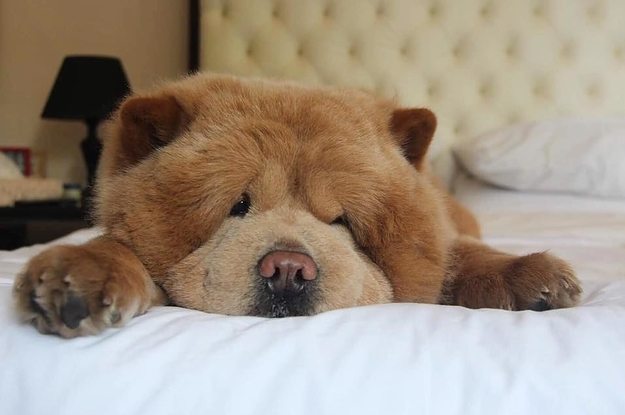 What Is The Breed Of Dog That Loooks Like A Big Chow Chow