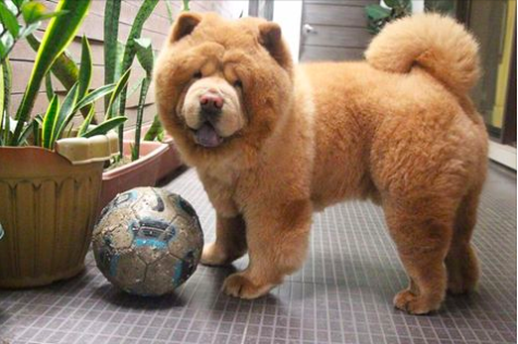 Dog That Looks Like A Bear Buzzfeed