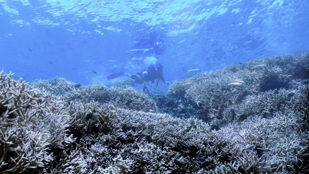 You see, our beautiful coral reefs are dying at an alarming rate due to coral bleaching (aka what happens when the ocean's temperature rises to the point that it kills the coral).