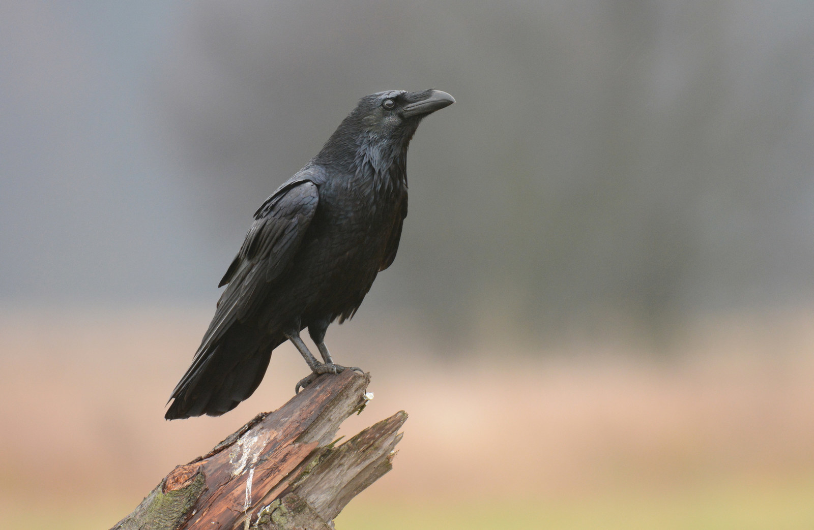 The meaning and symbolism of the word raven biocorpaavc