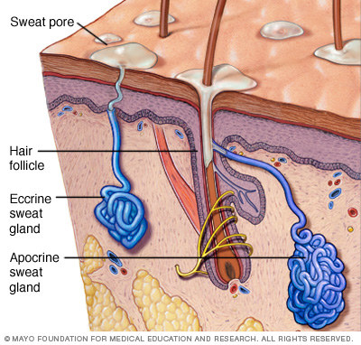 But first, what causes sweat? Your body has two types of glands, called apocrine and eccrine glands.