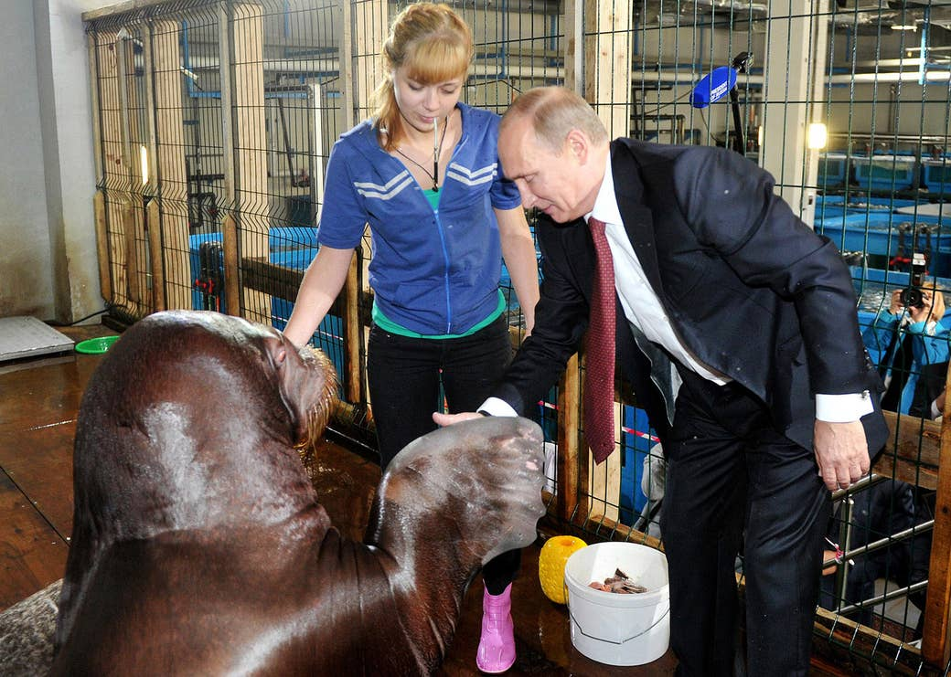 Putin shakes hands with a walrus during a visit to an oceanarium on Russky Island on Sept. 1, 2013.