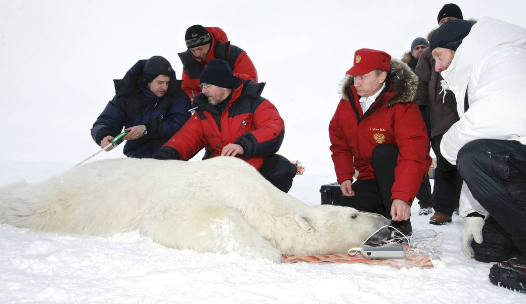 Putin and scientists measure a polar bear on the island of Alexandra Land in the Franz Josef Land archipelago on April 29, 2010.