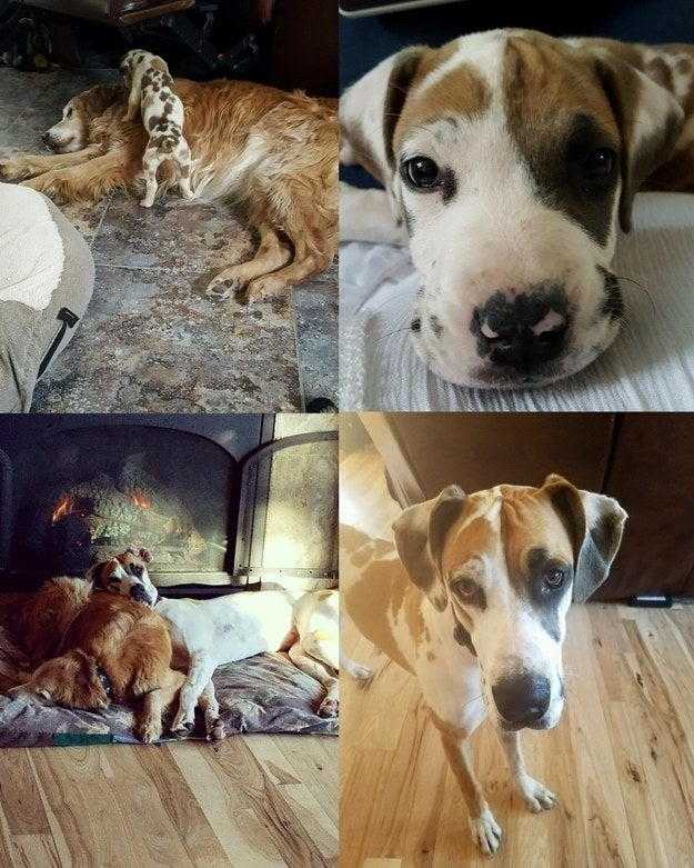 """""""Maggie, great dane, at 5 weeks versus 1 year. Still loves to cuddle with her 'big' brother, Rufus!"""" — emmas4a01d0ff0"""