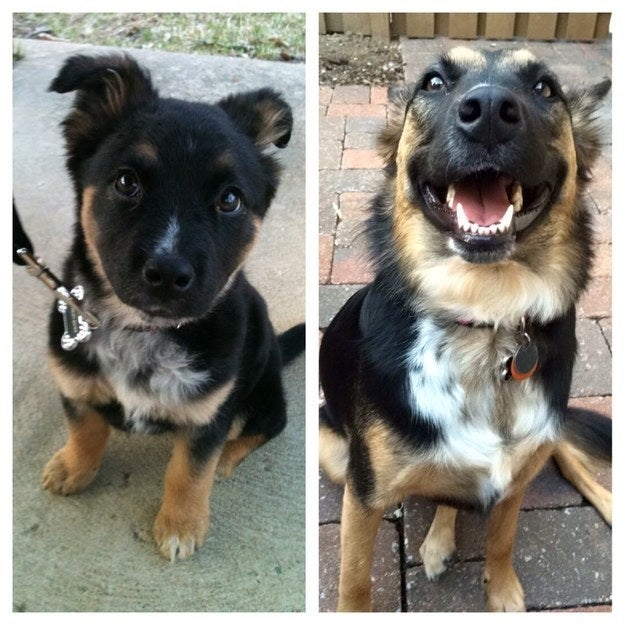 """""""Harley Quinn, my German shepherd/border collie mix rescue pupper! (Left: 3 months old; right: 3 years old)."""" — emilydaniellee"""