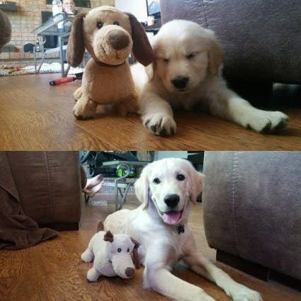 """At 8 weeks and 6 months with the same toy (minus an ear)."" — zsazlen"