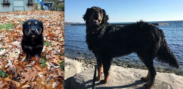 """""""This is Bear, the week we brought him home versus two years later! He's the sweetest lil' (giant) pup and follows me everywhere. Bernese/chocolate lab mix!"""" — hannah"""