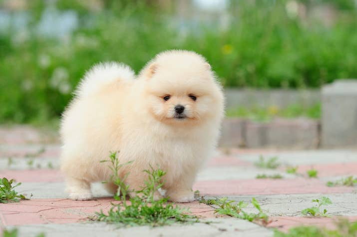 youre probably familiar with this particular sentient fluffball of joy more commonly known as the pomeranian