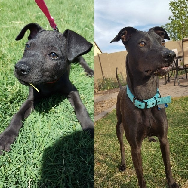 """""""Lily the day we got her (1 month old) versus the end of June (1 year old) — still eating grass after over a year."""" — gh0stkat"""