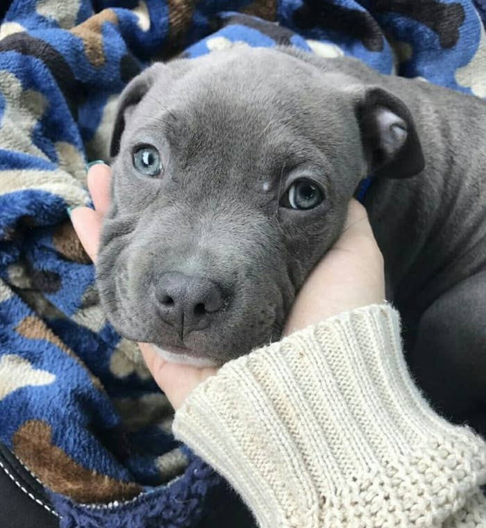 19 Reasons Why Pit Bull Puppies Are The Most Dangerous Creatures On