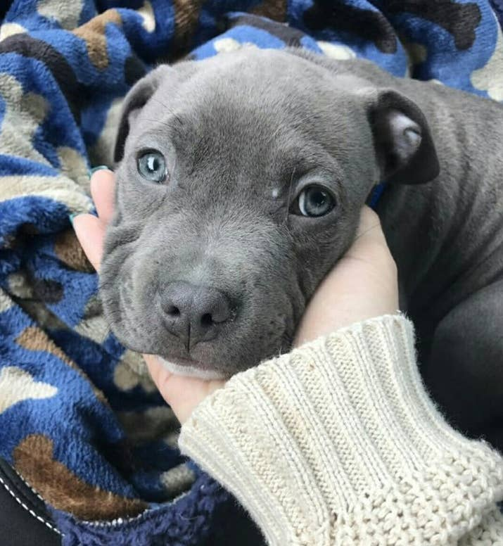 19 reasons why pit bull puppies are the most dangerous creatures on shuffles papers and touches ear bud this just in pit bull puppos are some of the cutest creatures on the entire planet voltagebd Choice Image