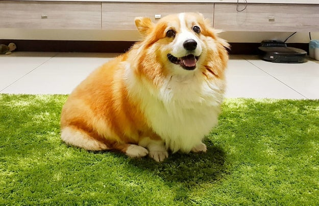 This is Kuma the corgi. He is 9 years old and lives in Kaohsiung, Taiwan.
