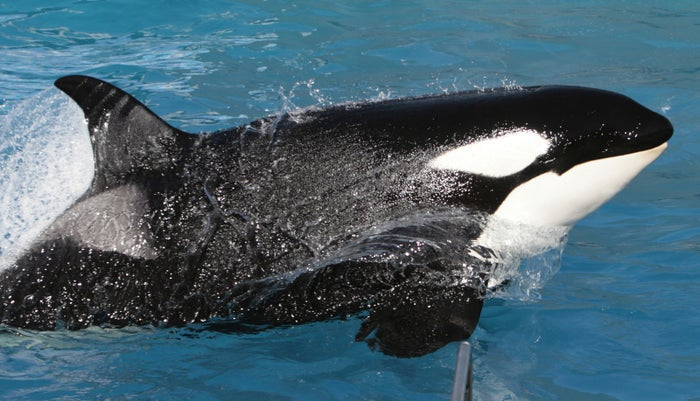 Kasatka the killer whale performs during SeaWorld's Shamu show in San Diego in 2006.