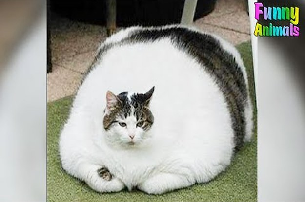 Fattest Cat In The World - Funny Pets Compilation 2017