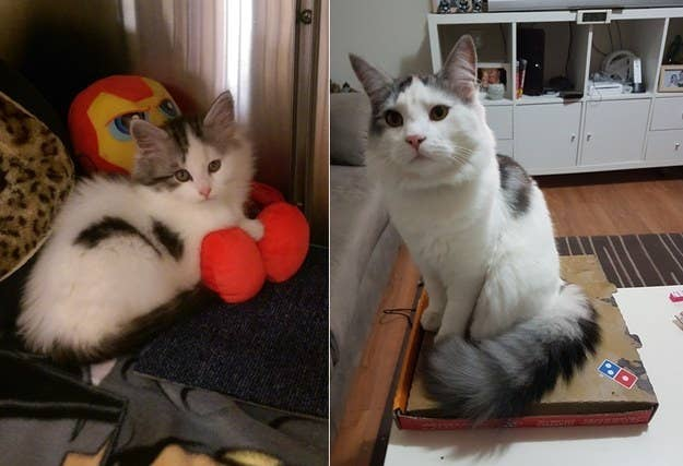 """Lando Catrissian at eight weeks, and 11 months. He still thinks he has a right to sit anywhere. That's my dinner he's sitting on..."" – asht4bf1f8d67"