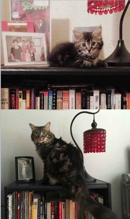 """Maude and her sister came from a pregnant momma cat my husband and I found in a dumpster. Here she is at nine weeks old and four years old!"" – ivlaytcheva"
