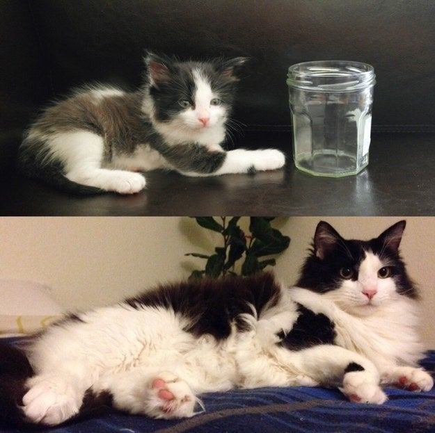 """Soju the rescued street kitty from three weeks to three years!"" – melly0504"