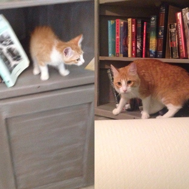 """He still likes to hang out on this bookshelf, but he doesn't quite fit anymore."" – eviec3"