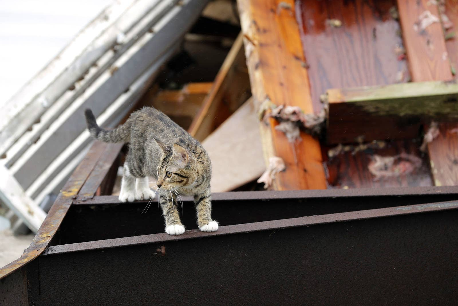 A cat wanders through debris on Aug. 28 in Rockport, Texas. A neighbor took in the cat and provided it with food and water.