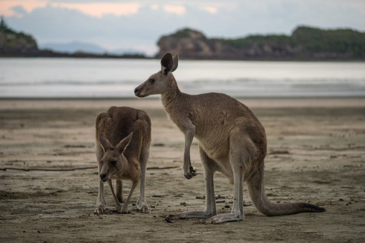 At Cape Hillsborough National Park you get to experience two symbols of Australian life — kangaroos and beaches. Don't be too surprised if you spot two roos engaged in a boxing match!