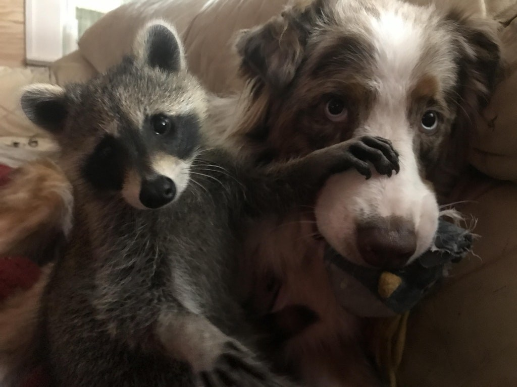 19 Adorable Raccoons That Will Make You Say Awwww