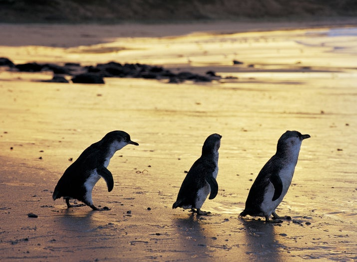 It's rare to see penguins in the wild in Australia. So it's not surprising that in the Phillip Island Nature Park this is a big draw. Every night you can witness fairy penguins travelling back ashore after a day in the water. The area is tightly managed to ensure the conservation of these little fellas.