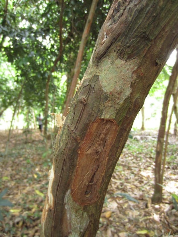 Cinnamon sticks are the dried, rolled-up bark of this tree.
