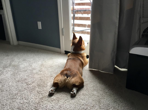 Corgis never let guarding get in the way of their splooting.