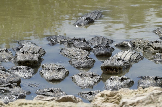 """As Florida feels the impact of Hurricane Irma, gator parks (some of them hosting thousands of alligators on their properties) said they were well-prepared. One park in Orlando told Huff Post, """"None of our animals are getting out."""""""