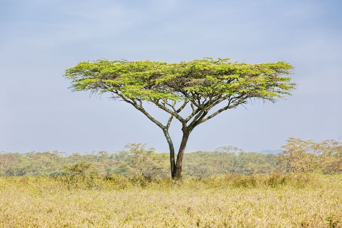 Found in Africa or the Middle East, the acacia tree's long roots tap into deep water sources, making it resilient against long droughts.