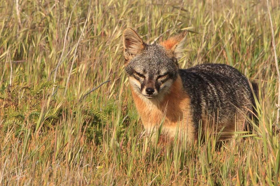an analysis of island fox being endangered species in the california channel islands
