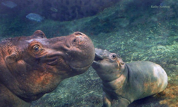 Fiona the Hippo (right), and her mother Bibi (left).