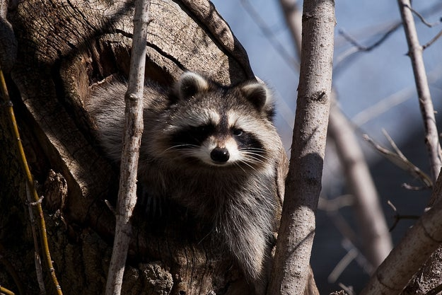 Hello. This is a raccoon being a raccoon in something normal, like this tree.
