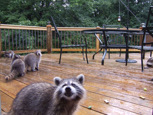But of course, raccoons are known for being curious.